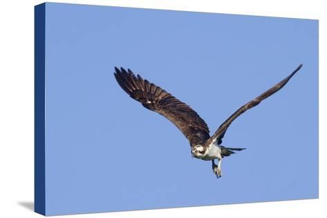 Osprey Takes Off-Hal Beral-Stretched Canvas Print