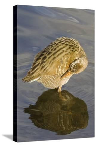 Light-Footed Clapper Rail Grooming-Hal Beral-Stretched Canvas Print