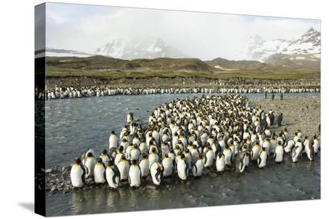 King Penguin Colony-Joe McDonald-Stretched Canvas Print