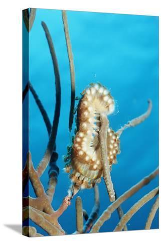 Bearded Fireworm, Hermodice Carunculata, Netherlands Antilles, Bonaire, Caribbean Sea-Reinhard Dirscherl-Stretched Canvas Print