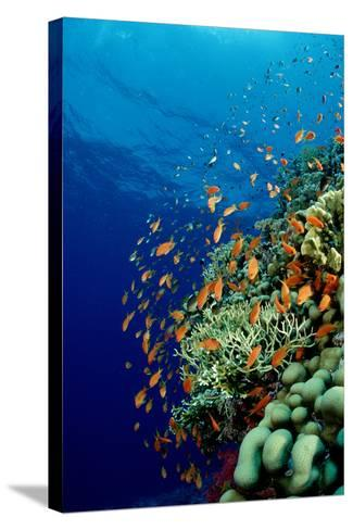 Schooling Lyretail Anthias and near a Coral Reef. (Pseudanthias Squamipinnis) Red Sea-Reinhard Dirscherl-Stretched Canvas Print