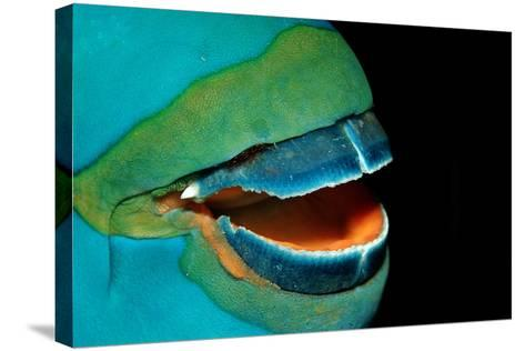 Close-Up of a Greentroat Parrotfish Mouth and Beak-Reinhard Dirscherl-Stretched Canvas Print