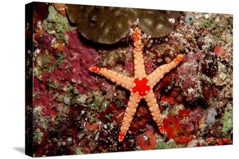 Red-Mesh Starfish (Fromia Monilis), Indian Ocean.-Reinhard Dirscherl-Stretched Canvas Print