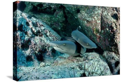 Hunting Whitetip Reef Sharks (Triaenodon Obesus), Central America, Pacific Ocean.-Reinhard Dirscherl-Stretched Canvas Print