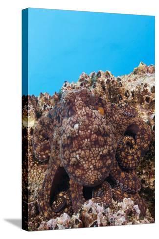 Common Octopus Camouflaged (Octopus Vulgaris)-Reinhard Dirscherl-Stretched Canvas Print
