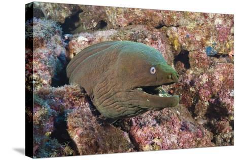 Panamic Green Moray Eel (Gymnothorax Castaneus)-Reinhard Dirscherl-Stretched Canvas Print