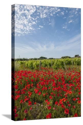 Vineyards near Ettore E Infersa Salt Works Area-Guido Cozzi-Stretched Canvas Print