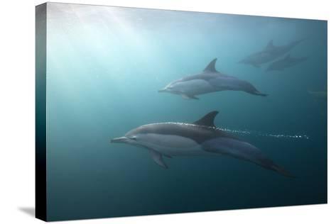 Long-Beaked Dolphin (Delphinus Capensis)-Reinhard Dirscherl-Stretched Canvas Print