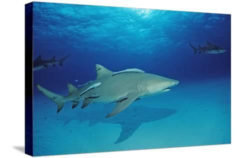 Lemon Shark, Negaprion Brevirostris, Bahamas, Grand Bahama Island, Atlantic Ocean-Reinhard Dirscherl-Stretched Canvas Print