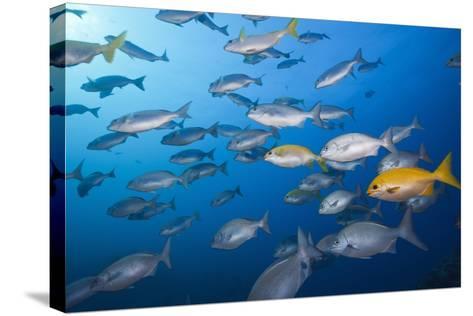 Blue-Bronze Sea Chub (Kyphosus Analogus) and Yellow Sea Chub (Kyphosus Lutescens) School-Reinhard Dirscherl-Stretched Canvas Print