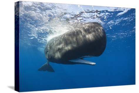 Sperm Whale (Physeter Macrocephalus)-Reinhard Dirscherl-Stretched Canvas Print
