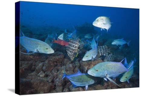 Bluefin Trevally (Caranx Melampygus) and Leather Bass (Dermatolepis Dermatolepis)-Reinhard Dirscherl-Stretched Canvas Print