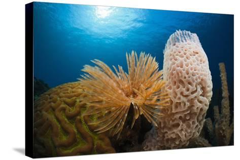 Fan Worm (Spirographis Spallanzanii), Tube Sponge, and Brain Coral on a Coral Reef-Reinhard Dirscherl-Stretched Canvas Print