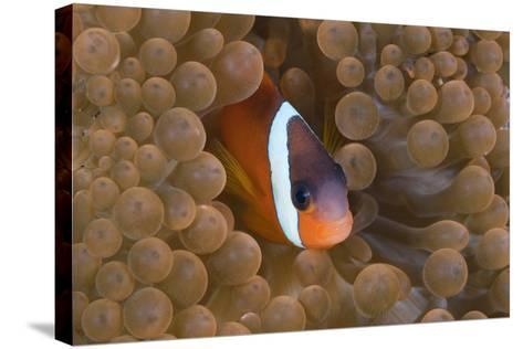 Tomato Anemonefish (Amphiprion Frenatus)-Reinhard Dirscherl-Stretched Canvas Print