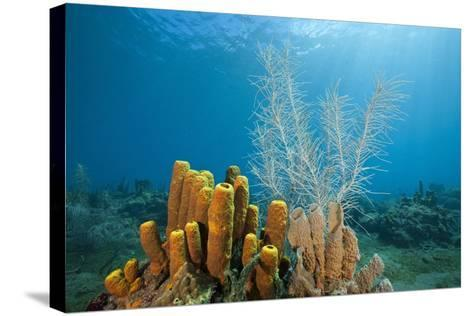 Yellow Tube Sponges in Coral Reef-Reinhard Dirscherl-Stretched Canvas Print