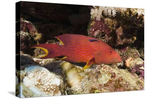 Lyretail Grouper (Variola Louti)-Reinhard Dirscherl-Stretched Canvas Print