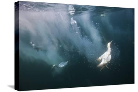 Cape Gannets (Morus Capensis) Diving for Fish-Reinhard Dirscherl-Stretched Canvas Print