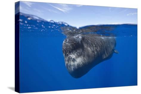Sperm Whale (Physeter Macrocephalus)-Reinhard Dirscherl-Stretched Canvas Print