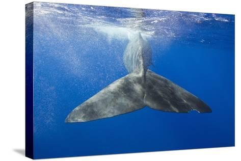 Sperm Whale Tail-Reinhard Dirscherl-Stretched Canvas Print