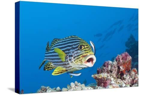 Oriental Sweetlips Cleaned by Cleaner Wrasse, Maldives-Reinhard Dirscherl-Stretched Canvas Print