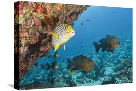 Snapper and Sweetlips in Coral Reef, Maldives-Reinhard Dirscherl-Stretched Canvas Print