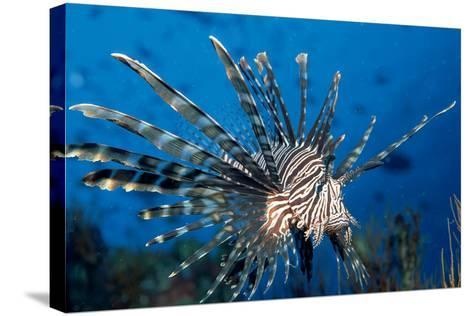 Lionfish or Turkeyfish (Pterois Volitans), Indian Ocean.-Reinhard Dirscherl-Stretched Canvas Print