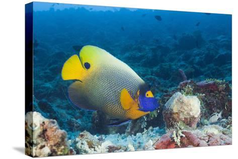 Yellowmask Angelfish (Pomacanthus Xanthometopon)-Reinhard Dirscherl-Stretched Canvas Print