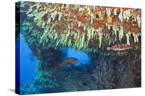Soft Corals in Overhang, Maldives-Reinhard Dirscherl-Stretched Canvas Print