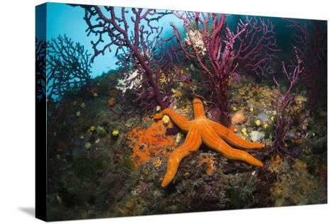 Red Starfish on a Coral Reef (Echinaster Sepositus), Cap De Creus, Costa Brava, Spain-Reinhard Dirscherl-Stretched Canvas Print