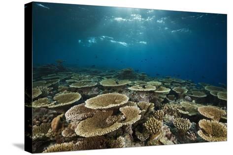 Table Corals (Acropora)-Reinhard Dirscherl-Stretched Canvas Print