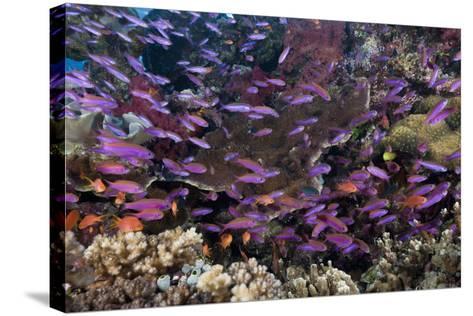 Slender Basslet School in Coral Reef (Luzonichthys Whitleyi)-Reinhard Dirscherl-Stretched Canvas Print