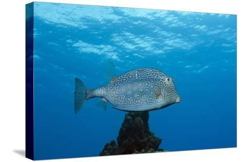 Honeycomb Cowfish (Lactophrys Polygonia), Cozumel, Caribbean Sea, Mexico-Reinhard Dirscherl-Stretched Canvas Print