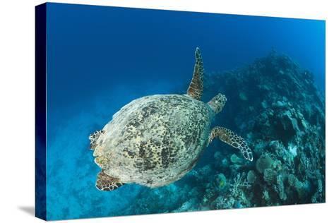 Hawksbill Turtle (Eretmochelys Imbricata)-Reinhard Dirscherl-Stretched Canvas Print