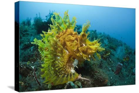 Yellow Weedy Scorpionfish (Rhinopias Frondosa), Alam Batu, Bali, Indonesia-Reinhard Dirscherl-Stretched Canvas Print