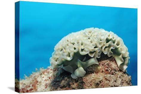 Lettuce Sea Slug, Tridachia Crispata, Netherlands Antilles, Bonaire, Caribbean Sea-Reinhard Dirscherl-Stretched Canvas Print