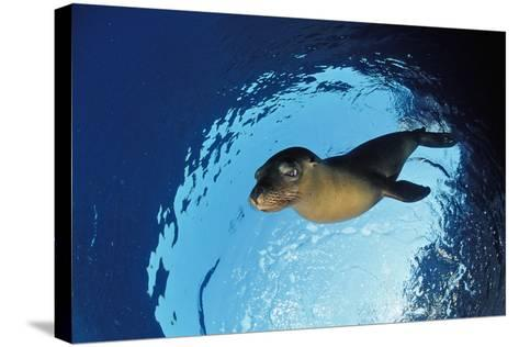 Californian Sea Lion, Zalophus Californianus, Mexico, Sea of Cortez, Baja California, La Paz-Reinhard Dirscherl-Stretched Canvas Print