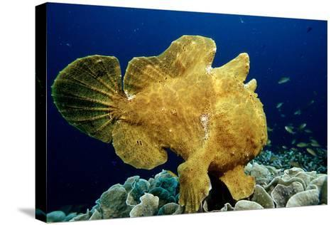 Giant Frogfish (Antennarius Commersonii), Pacific Ocean, Panglao Island.-Reinhard Dirscherl-Stretched Canvas Print