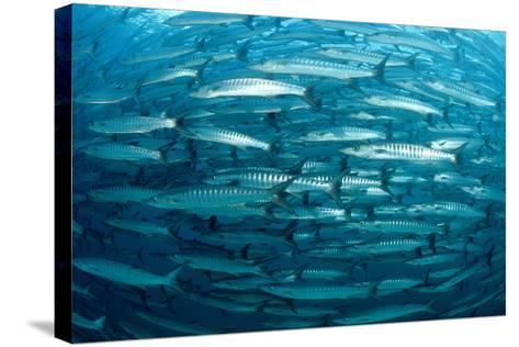 Blackfin Barracuda (Sphyraena Qenie) Pacific Ocean-Reinhard Dirscherl-Stretched Canvas Print