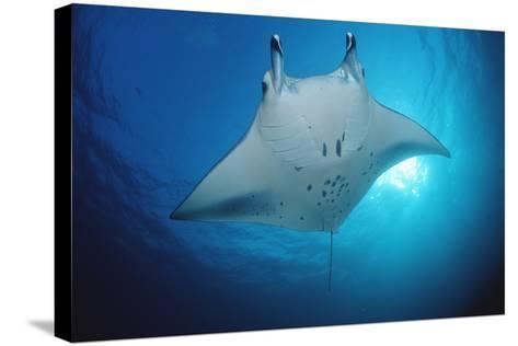 Manta Ray (Manta Birostris), Maldives Islands, Indian Ocean.-Reinhard Dirscherl-Stretched Canvas Print