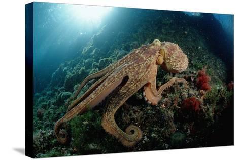 Octopus (Octopus Vulgaris)-Reinhard Dirscherl-Stretched Canvas Print