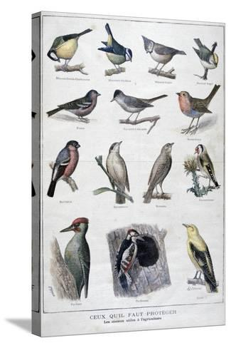 Useful Birds in Agriculture, 1896-A Clement-Stretched Canvas Print