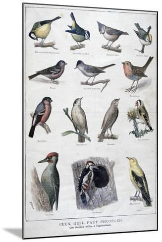 Useful Birds in Agriculture, 1896-A Clement-Mounted Giclee Print