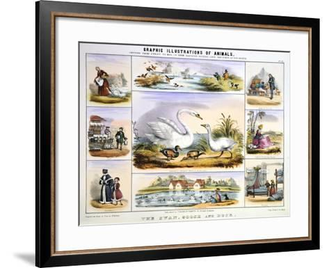 The Swan, Goose and Duck, C1850-Benjamin Waterhouse Hawkins-Framed Art Print
