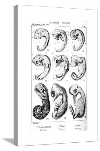Sauropsid Embryos, 1910-Ernst Heinrich Philipp August Haeckel-Stretched Canvas Print
