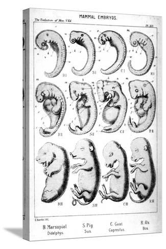 Mammal Embryos, 1910-Ernst Heinrich Philipp August Haeckel-Stretched Canvas Print