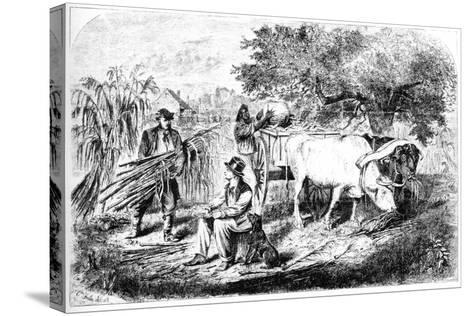 Oxen Hauling Corn, 19th Century-Edwin Forbes-Stretched Canvas Print