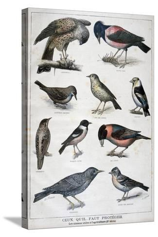 Birds That are Protected, and Helpful in Agriculture, 1897-F Meaulle-Stretched Canvas Print