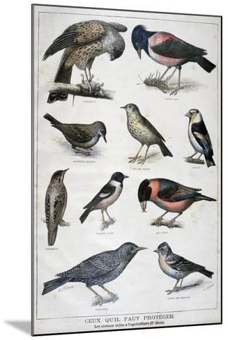 Birds That are Protected, and Helpful in Agriculture, 1897-F Meaulle-Mounted Giclee Print