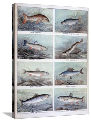 Freshwater Fish, 1898-F Meaulle-Stretched Canvas Print