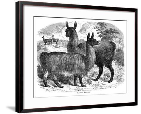 Alpaca Sheep, C1880-J C-Framed Art Print